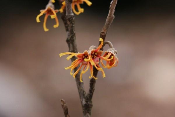 Witchhazel blossom (Photo by Master Gardener Glenn Blake)