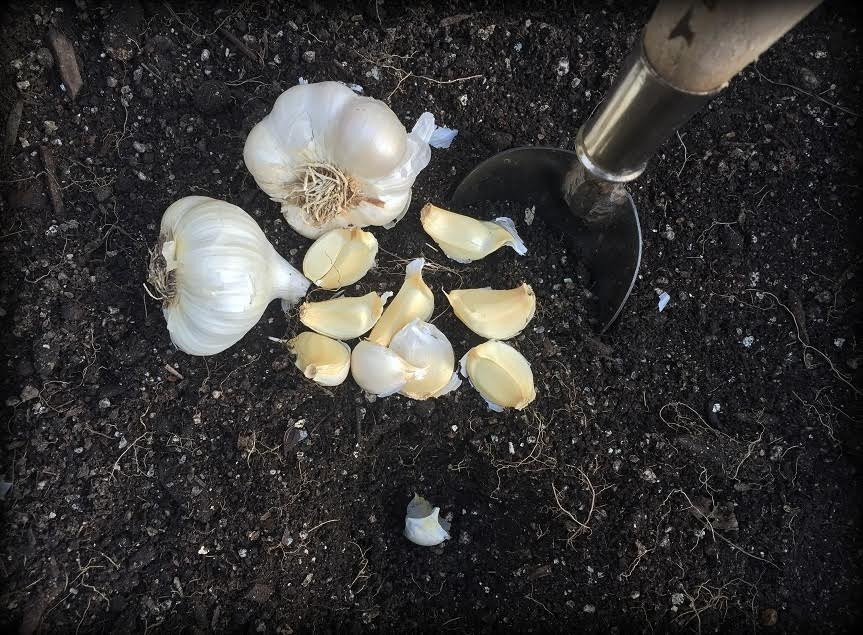 plant garlic in the fall master gardeners of greene county. Black Bedroom Furniture Sets. Home Design Ideas