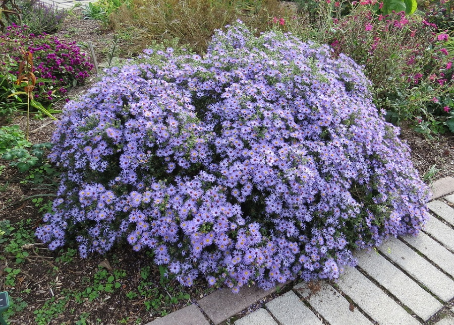 Asters-October-25-2015-960
