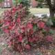 Autumn Oakleaf Hydrangea October 25, 2015 960