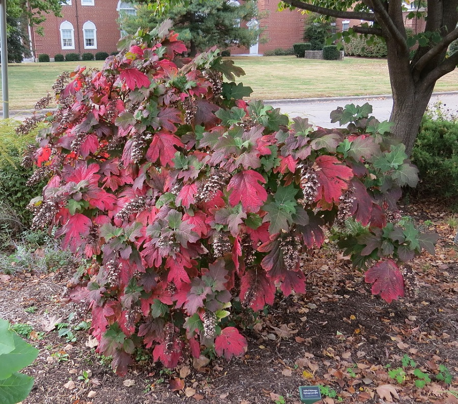 Autumn-Oakleaf-Hydrangea-October-25-2015-960