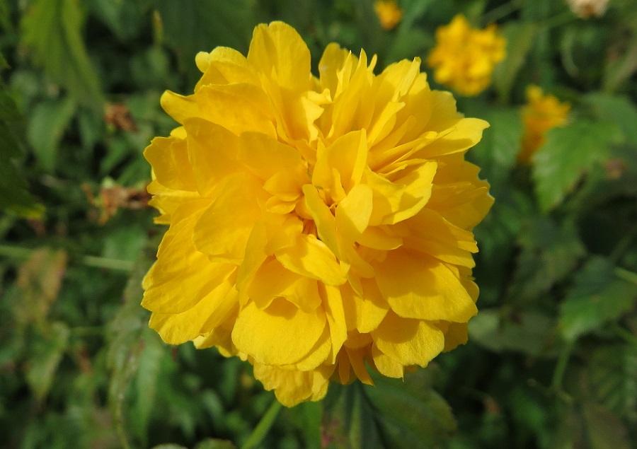 Kerria-Japonica-Blossom-October-25-2015-960