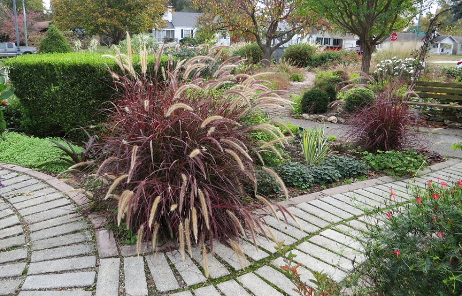 Purple-Fountain-Grass-25-2015-960